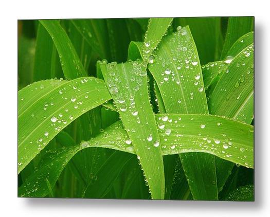 Corn Leaves After The Rain Metal Print